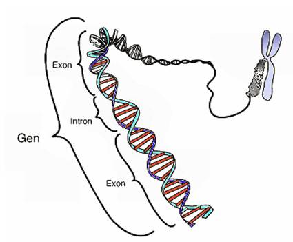 Genética Y Causas Asociación Síndrome Cchs O Enfermedad De